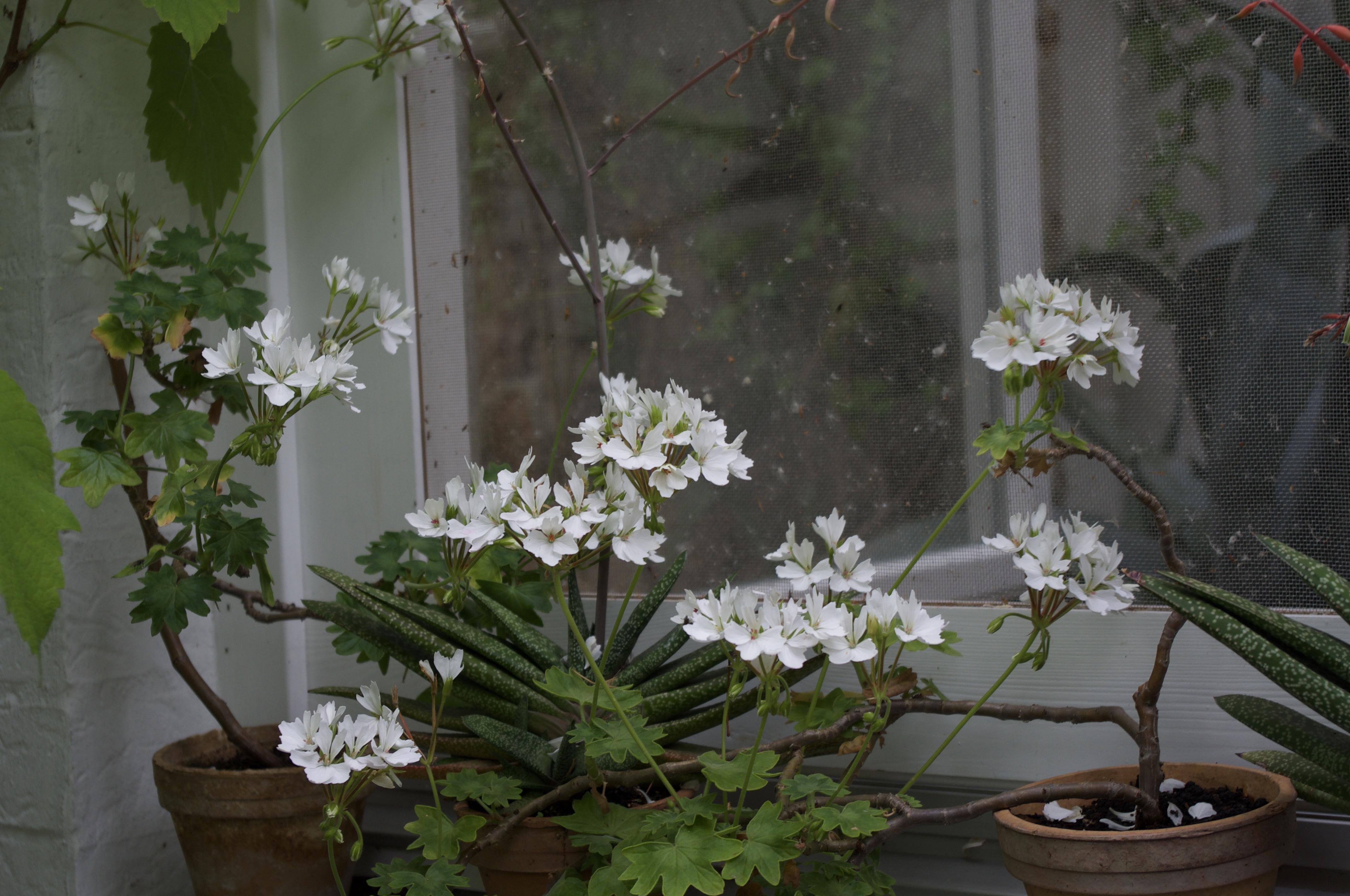 Blume vorm Fenster