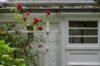 Rosen an der Tür zu ONHs Haus